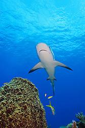 Caribbean Reef Shark, Carcharhinus perezi, swimming over Giant Barrel Sponge, Xestospongia muta, West End, Grand Bahamas, Atlantic Ocean