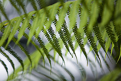 South America, Ecuador, Pichincha province, Mindo, ferns in cloud forest.