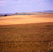 A293YB Rolling landscape with cereal crops Wiltshire chalk Downs England