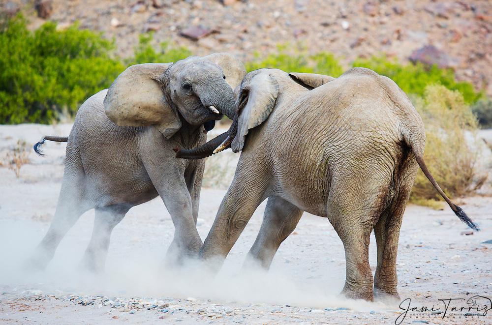 Two male adolescent desert-dwelling elephants(Loxodonta africana africana) playing, Skeleton Coast, Namibia,Africa
