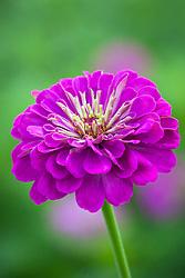 Zinnia 'Benary's Giant Purple'
