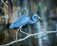 Tricolored Heron perched on a branch in Big Cypress Swamp. Image taken with a Nikon Df camera and 400 mm f2.8 lens (ISO 800, 400 mm, f/4, 1/160 sec).