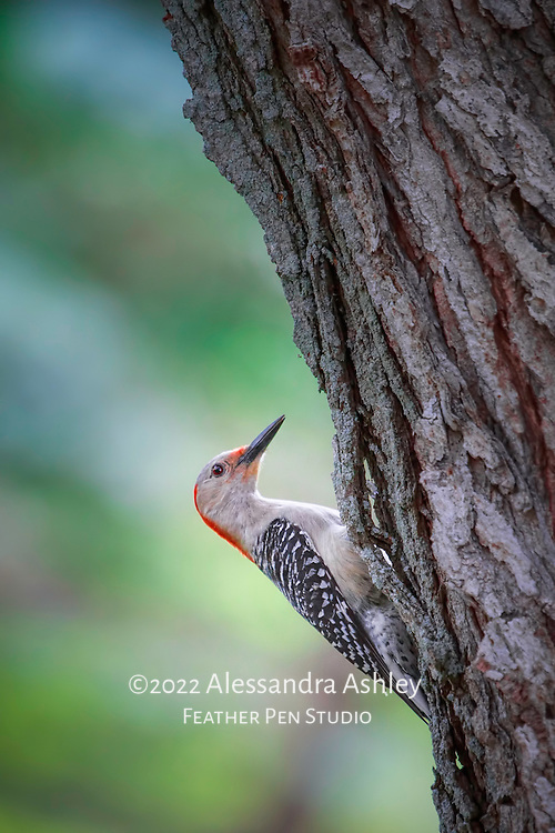 Red bellied woodpecker scanning for insects on maple tree trunk. Natural backyard setting, central Ohio.