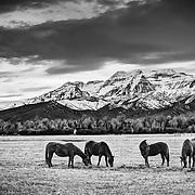 Horses set against Mt. Timpanogos in the North Fields of Heber, Utah.