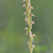 Man Orchid standing alone