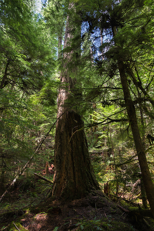 Large tree in an old growth forest along the Middle Fork of the Willamette River, Oregon.