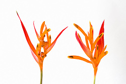 Heliconia, Golden Torch#7