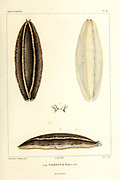 Vaginula (land slug) [Here as Vaginula solea] Mollusks from the book 'Voyage dans l'Amérique Méridionale' [Journey to South America: (Brazil, the eastern republic of Uruguay, the Argentine Republic, Patagonia, the republic of Chile, the republic of Bolivia, the republic of Peru), executed during the years 1826 - 1833] Volume 5 Part 3 By: Orbigny, Alcide Dessalines d', d'Orbigny, 1802-1857; Montagne, Jean François Camille, 1784-1866; Martius, Karl Friedrich Philipp von, 1794-1868 Published Paris :Chez Pitois-Levrault. Publishes in Paris in 1843