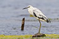 Little Blue Heron - Egretta caerulea - Immature