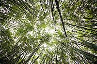 The mesmerizing bamboo shoots of Mghahinga Gorilla National Park, Uganda.