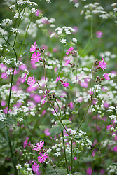 Red Campion with Cow Parsley. Silene dioica, Anthriscus sylvestris