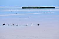 Mallard ducks, Anas platurhynchos, Wolinsky National Park, Poland, Oder river delta/Odra river rewilding area, Stettiner Haff, on the border between Germany and Poland