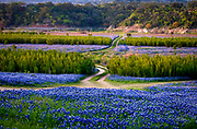 From the banks of the Colorado River, winds carried bluebonnet seeds to the withered bottom of a bend in Lake Travis after a severe drought devastated Texas from 2010 - 2013. As rain began to fall, a fragrant bluebonnet field emerged for two seasons until flooding rain in 2015 returned the tributary to the river. Muleshoe Bend Recreation Area, Spicewood, Texas. Double spread, spring 2018, Texas Highways Magazine
