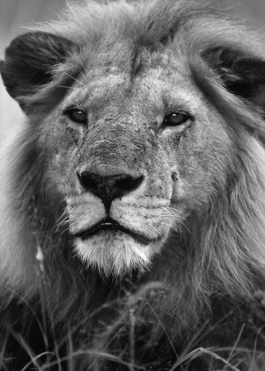 Male lion head at attention, Kenya
