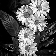 Limited edition photograph of a daisy flower group.