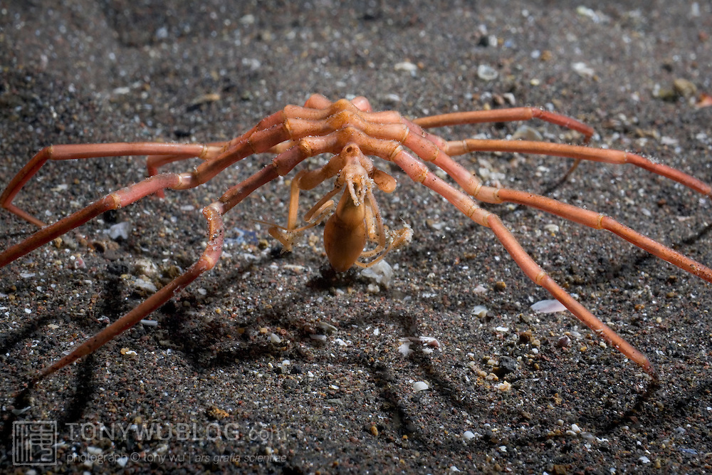 A large sea spider brought up in a fishing net from a depth of 300 to 400 meters in Suruga Bay off the west coast of the Izu Peninsula, Japan. The sea spider was alive and active, crawling back toward deep water when I released it.