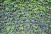 Leaves. Clos des Langres, Domaine d'Ardhuy, Corgoloin, Cote de Nuits, d'Or, Burgundy, France