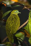 Golden Dove (Ptilinopus luteovirens)<br /> Fiji. South Pacific<br /> Endemic to Fiji,<br /> captive<br /> Lives on Viti Levu, Ovalau, Gau & some Yasawas