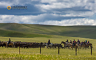 Cowboys herding beef csattle in poasture near Browning, Montana, USA