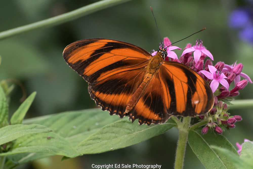 Colorful orange and black Monarch butterfly on a plant