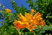 orange honeysuckle lonicera ciliosa flower vine