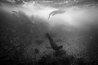 Galapagos sea lions swimming with a Marine Iguana in the Galapagos Islands, Ecuador.