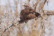 Swainson's Hawk (Buteo swainsoni), Alberta, Canada