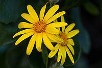 Bitou Bush Flowers, Garden Route National Park, Western Cape, South Africa