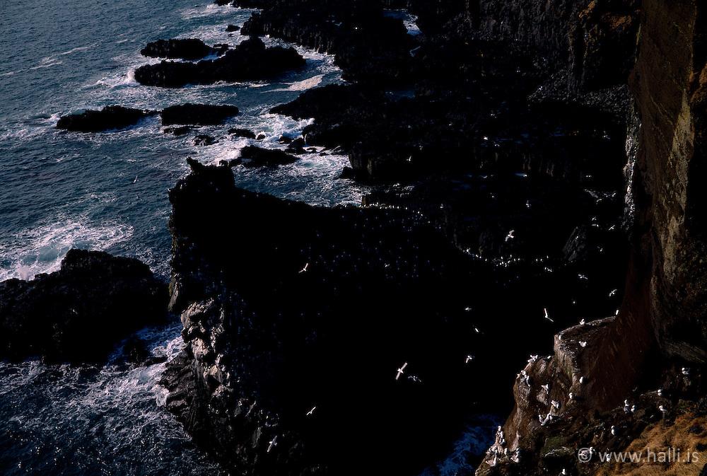 Fuglalíf við Þúfubjörg á Snæfellsnesi / Thufubjorg at Snaefellsnes, birds and cliffs