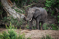 Elephant in Kruger National Park, South Africa shoots muddy water with trunk.