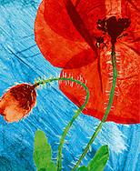 hand coloured pressed wild field poppy flower