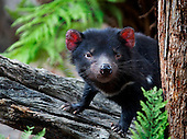 Tasmanian Devils Full Collection