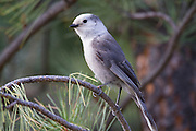 Gray Jay in Lewis & Clark National Forest near Helena, Montana.