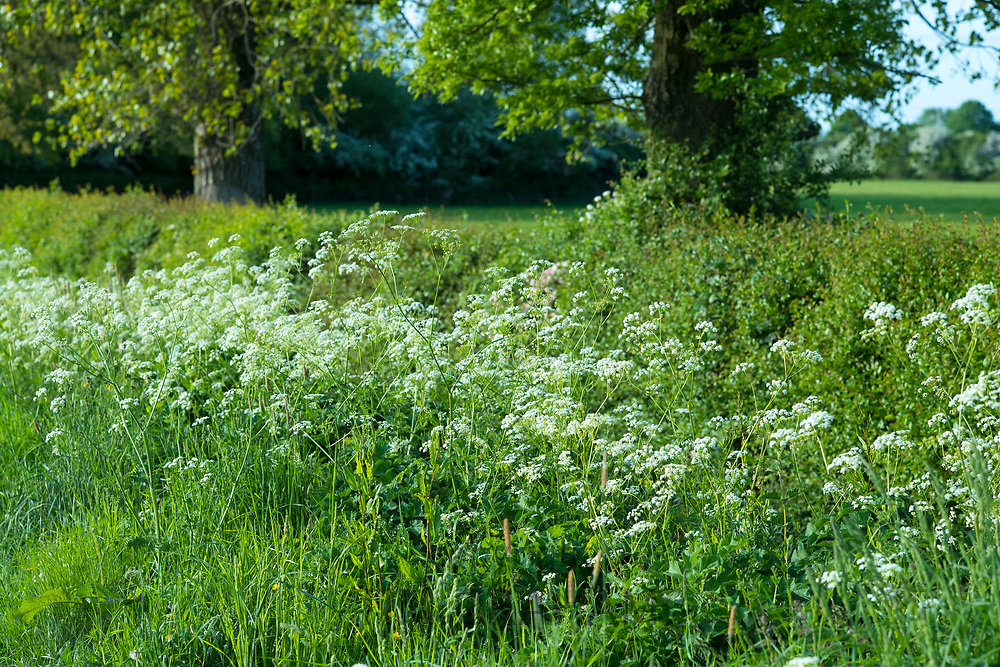 Cow Parsley - Anthriscus sylvestris - blooming in verge in late Spring / early Summer, the Oxfordshire Cotswolds, UK