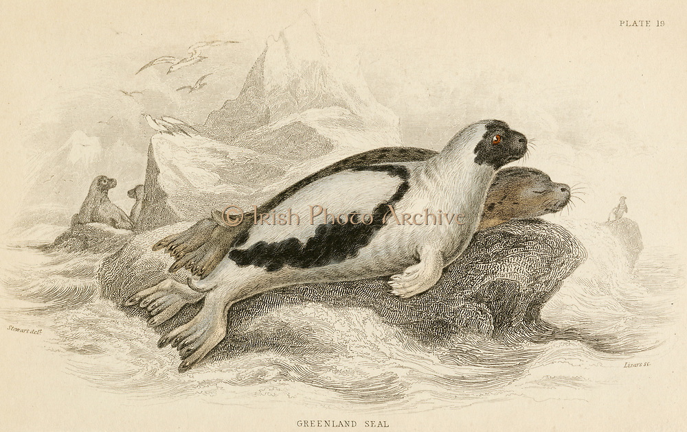 'Harp Seal or Saddleback - Pagophilus groenlandicus: aquatic carnivorous of North Atlantic and Arctic Oceans.  Hand-coloured engraving from ''A History of British Quadrupeds'', Edinburgh, 1838.'