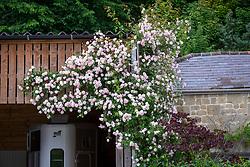 Rosa 'Paul's Himalayan Musk' disguising an old barn wall at Park Farm