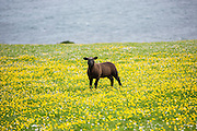 Dark brown sheep in buttercup meadow on Isle of Iona in the Inner Hebrides and Western Isles, Scotland