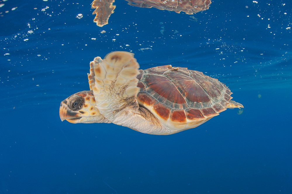 A Loggerhead Sea Turtle Hatchling, Caretta caretta, drifts in the open ocean offshore Pico Island, Azores, Portugal, North Atlantic Ocean. Image available as a premium quality aluminum print ready to hang.