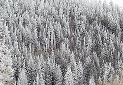 snow covered pine trees in the Santa Fe Mountains in  Santa Fe, New Mexico