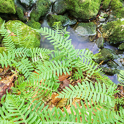 Common polypody ferns, Polypodium vulgare, in the Virgil Parris Preserve in Buckfield, Maine.