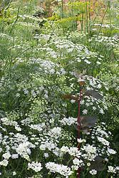 Ammi majus with Orlaya grandiflora and dill