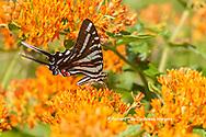 03006-00520 Zebra Swallowtail (Protographium marcellus) on Butterfly Milkweed (Asclepias tuberosa) Marion Co. IL