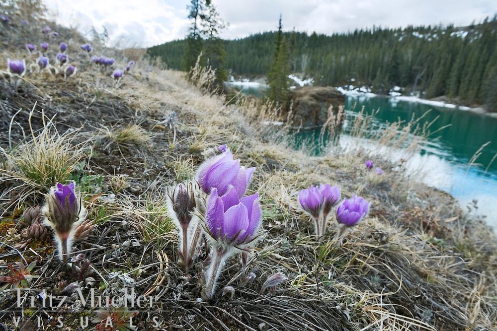 Wild crocus on the Yukon River