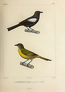 hand coloured sketch white-shouldered tanager (Tachyphonus luctuosus) [Here as Tachyphonus luctuosus]) Top: Male Bottom: female From the book 'Voyage dans l'Amérique Méridionale' [Journey to South America: (Brazil, the eastern republic of Uruguay, the Argentine Republic, Patagonia, the republic of Chile, the republic of Bolivia, the republic of Peru), executed during the years 1826 - 1833] 4th volume Part 3 By: Orbigny, Alcide Dessalines d', d'Orbigny, 1802-1857; Montagne, Jean François Camille, 1784-1866; Martius, Karl Friedrich Philipp von, 1794-1868 Published Paris :Chez Pitois-Levrault et c.e ... ;1835-1847