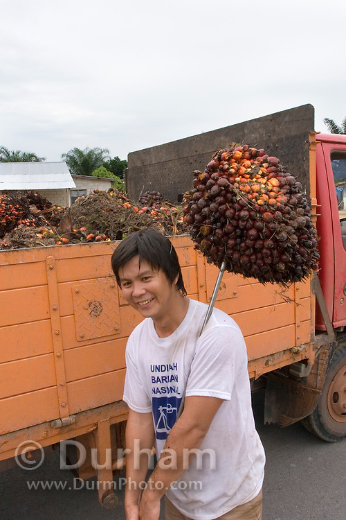 A worker hoists up the fruit cluster from a oil palm tree (Elaeis guineensis) from a transport truck, Johore Malaysia. Palm oil is derived from the fruit, and is one of the most widely produced edible vegatable oils in the world, on par with soybean oil. Palm oil demand is growing because of its use in biodiesel. Palm oil is one of Malaysia's primary exports.