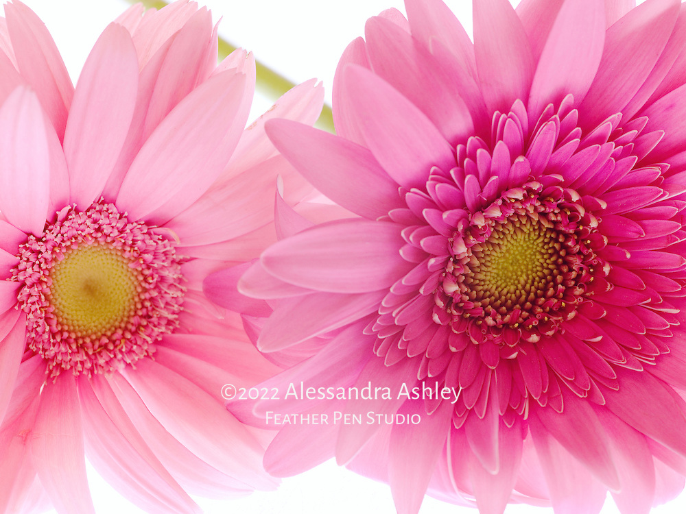 Fresh pink gerbera daisies over glowing lightbox. Image created with Mamiya digital-back medium format equipment.