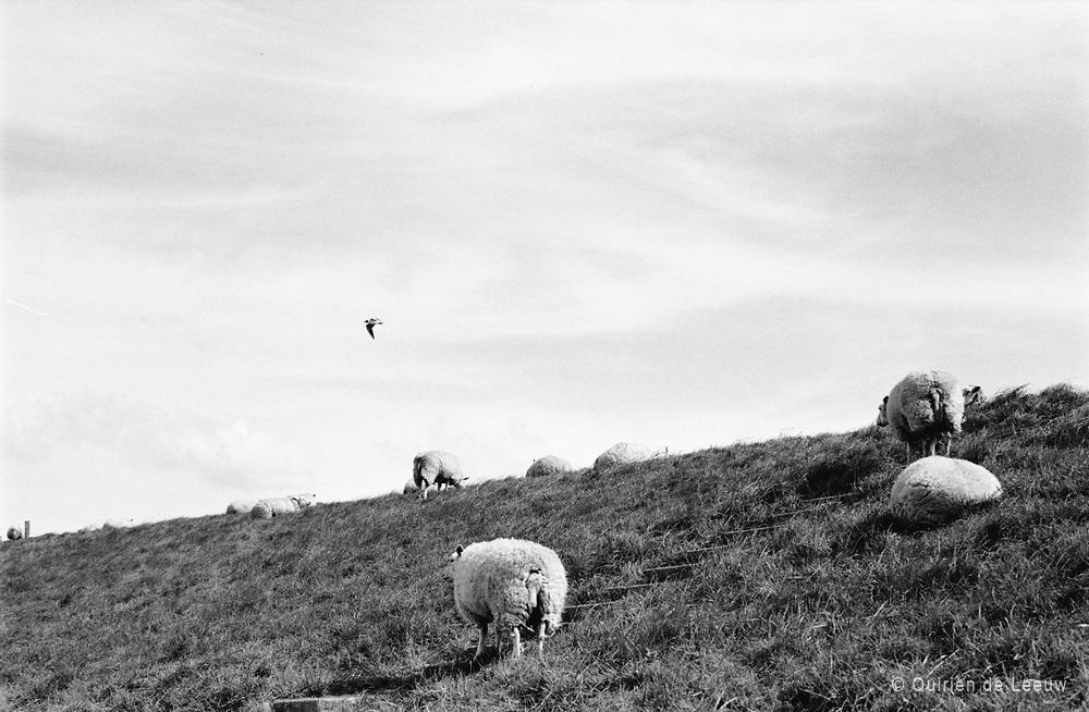 Schapen op dijk, Zeeland provincie