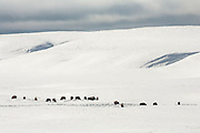 Herd of bison during winter in the Hayden Valley of Yellowstone National Park