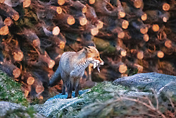 © Licensed to London News Pictures. 29/11/2018. Manchester, UK. An urban fox carrying food in its mouth is seen amongst Christmas trees being sold at New Smithfield Market in Manchester overnight , as fish , vegetable and meat traders work to dispatch orders for businesses across England . Photo credit: Joel Goodman/LNP