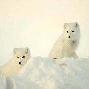Arctic Fox (Alopex lagopus) Pair along the ice edge of Hudson Bay, Cape Churchill, near Churchill, Manitoba, Canada. November